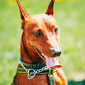 Close Up Brown Dog Miniature Pinscher Head Royalty Free Stock Images - 43368239