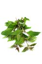 Mexican Dream Herb Stock Images - 43391424