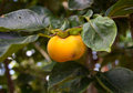 Persimmon Tree Stock Images - 43391854