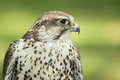 Saker Falcon Stock Photos - 43395943