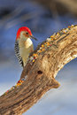 Red Bellied Woodpecker Royalty Free Stock Images - 4343609