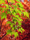 Autumn Leaves Royalty Free Stock Images - 4344449