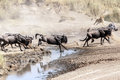 Lioness Hunting Wildebeest Royalty Free Stock Photography - 43414517
