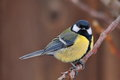Great Tit Stock Images - 43444454