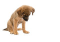 Puppy Stock Photography - 43451302