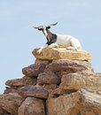 Goat On Top Of Rocks Stock Photography - 43479442