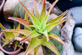 Aloe Vera Plant Stock Photos - 43494603