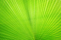 Texture Of Green Palm Leaf Stock Photo - 43500250