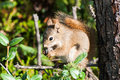 Red Squirrel Stock Image - 43502251