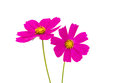 Cosmos Flowers Royalty Free Stock Images - 43504309