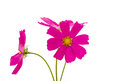 Cosmos Flowers Royalty Free Stock Photo - 43504355