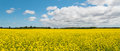 Panorama Of Yellow Field Rapeseed (Green Gables Shore, Prince Ed Stock Images - 43516494
