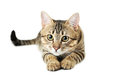Beautiful Cat Isolated On White Stock Photography - 43517392