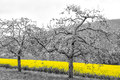 Oilseed Rape Fields Royalty Free Stock Photo - 43527795