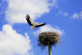 Storks Royalty Free Stock Images - 43540699