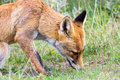 Fox Sniffing In The Grass Royalty Free Stock Photos - 43545998