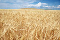Golden Grain Field Stock Photo - 43550080