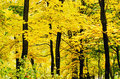 Golden Forest Stock Photography - 43574832