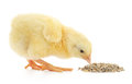 Baby Chicken Having A Meal Stock Image - 43579381