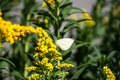 Cabbage White Butterfly Royalty Free Stock Photos - 43594418
