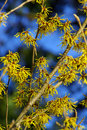 Hamamelis 04 Stock Photos - 4368853