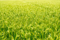 Paddy Rice Field Royalty Free Stock Photos - 43600728
