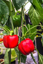 Red Bell Peppers. Stock Image - 43617301