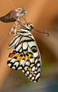 Lime Butterfly Out Of The Cocoon Stock Images - 43618384