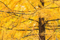 Autumn Yellow Larch Tree Stock Photography - 43626902