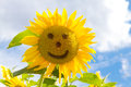 Sunflowers Smile Royalty Free Stock Photography - 43629617