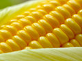 Fresh Corn Cob Royalty Free Stock Image - 43635956