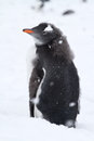 Almost Molting Gentoo Penguin Chick With The Remnants Royalty Free Stock Photo - 43642435