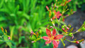 Blackberry Lily Royalty Free Stock Images - 43653749