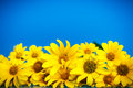 Yellow Daisies Stock Photography - 43680592
