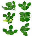 Kaffir Lime Leaves Stock Image - 43696921