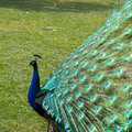 Peafowl Royalty Free Stock Photos - 4379808
