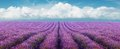 Lavender Field Stock Images - 43713914