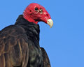 Portrait Of A Turkey Vulture (Cathartes Aura). Royalty Free Stock Photo - 43714495