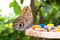 Owl Butterfly (Caligo Memnon) Eating Fruit Juice Stock Photos - 43745893