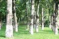 Forests Of White Birches Stock Images - 43759444