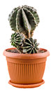 Green Cactus In A Brown Flower Pot, Close Up, White Background Stock Image - 43763181