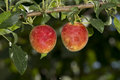 Plums On A Tree Royalty Free Stock Photography - 43780867