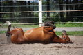 Brown Horse Rolling On The Ground Stock Photo - 43783110