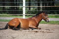 Brown Horse Rolling On The Ground Stock Images - 43783144