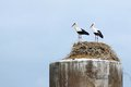 Couple Of Storks Stand Together In A Nest Royalty Free Stock Image - 43789996