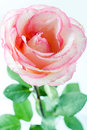 Pink Rose Stock Photography - 4380312