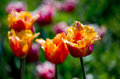 Beautiful Parrot Tulips On A Spring Day Royalty Free Stock Photos - 43800528