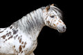 Portrait Of The Appaloosa Horse Or Pony Stock Photography - 43800662