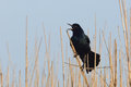 Great-tailed Grackle Calling - Texas Stock Image - 43828611