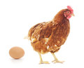 White Hen With Egg Royalty Free Stock Image - 43836176